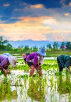 Farmers in rice field